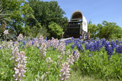 Bluebonnet Covered Wagon